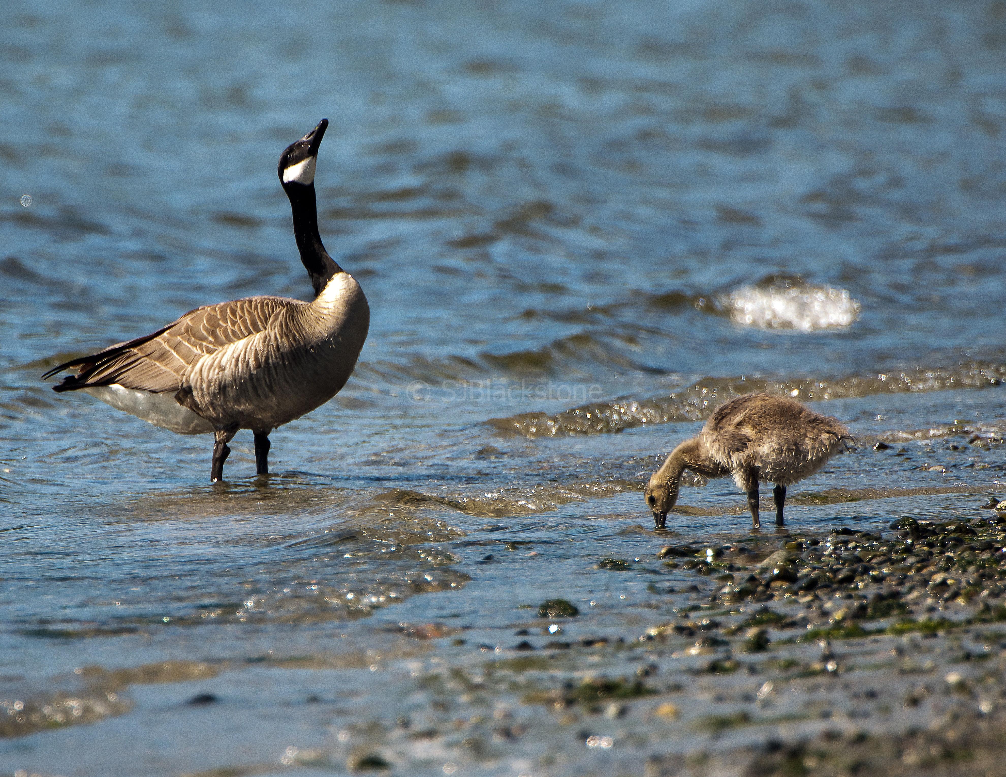 Canada Goose Feathers Bulk
